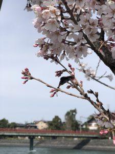 今年もきれいに咲きました!